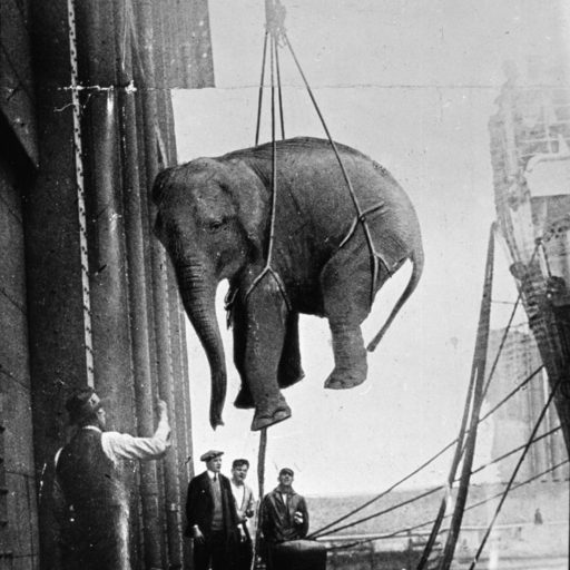 Elephant being hoisted onto a ship